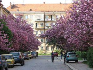 Сакура Ужгород